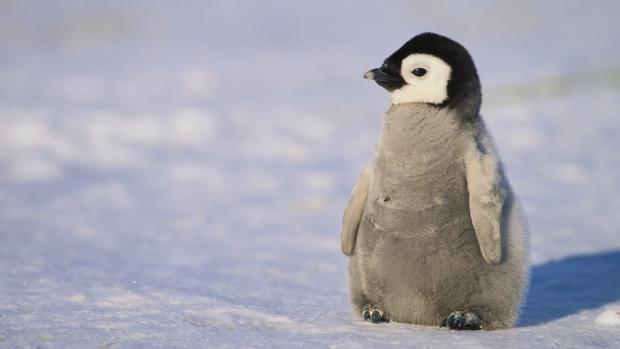 baby-pinguin-thinkstock_0