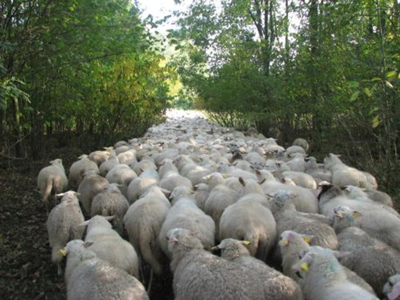 grazende schapen in Groningen