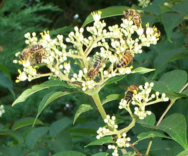1 bijenboom