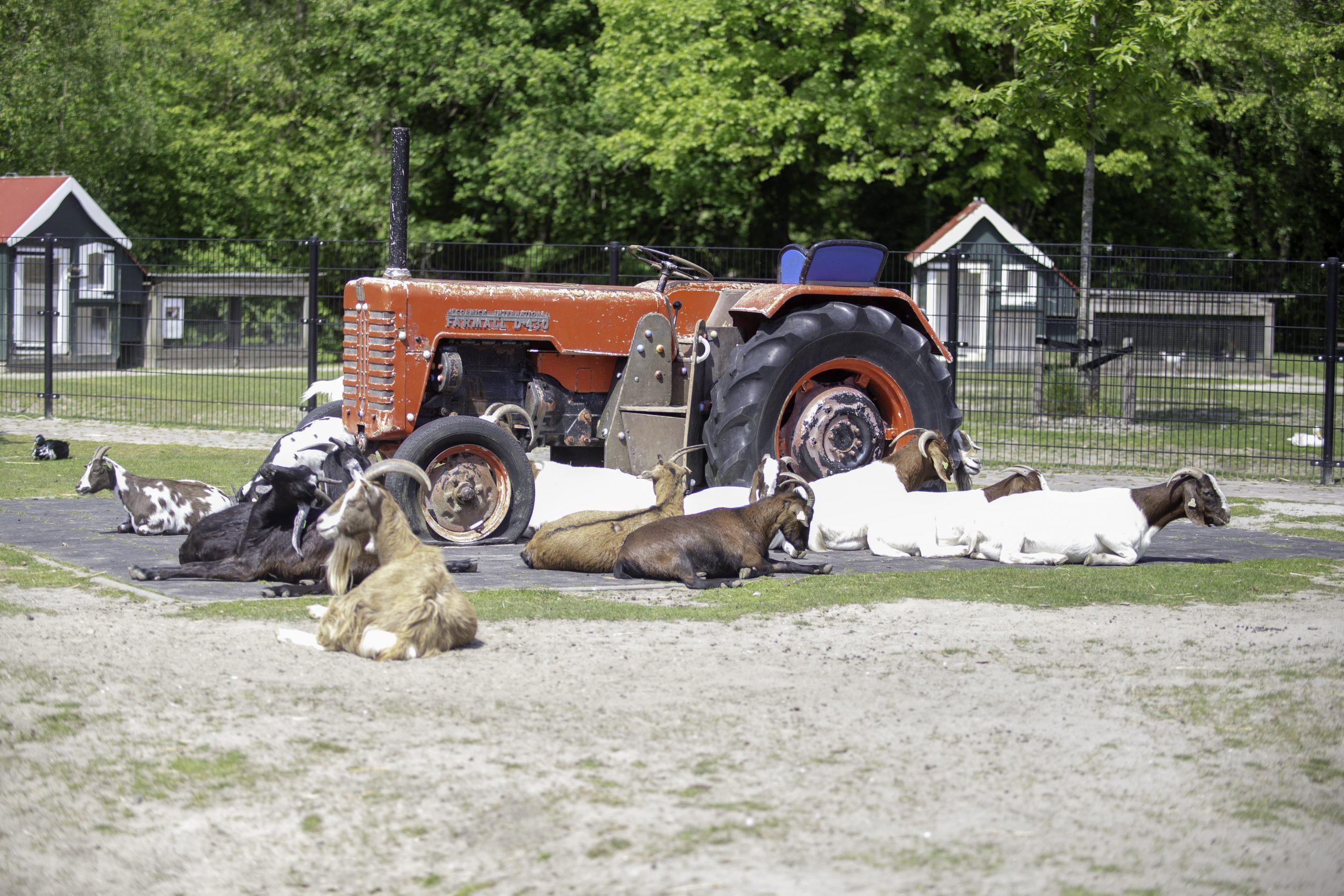 15-05-2019-kinderboerderij_stadspark_geiten—(8)
